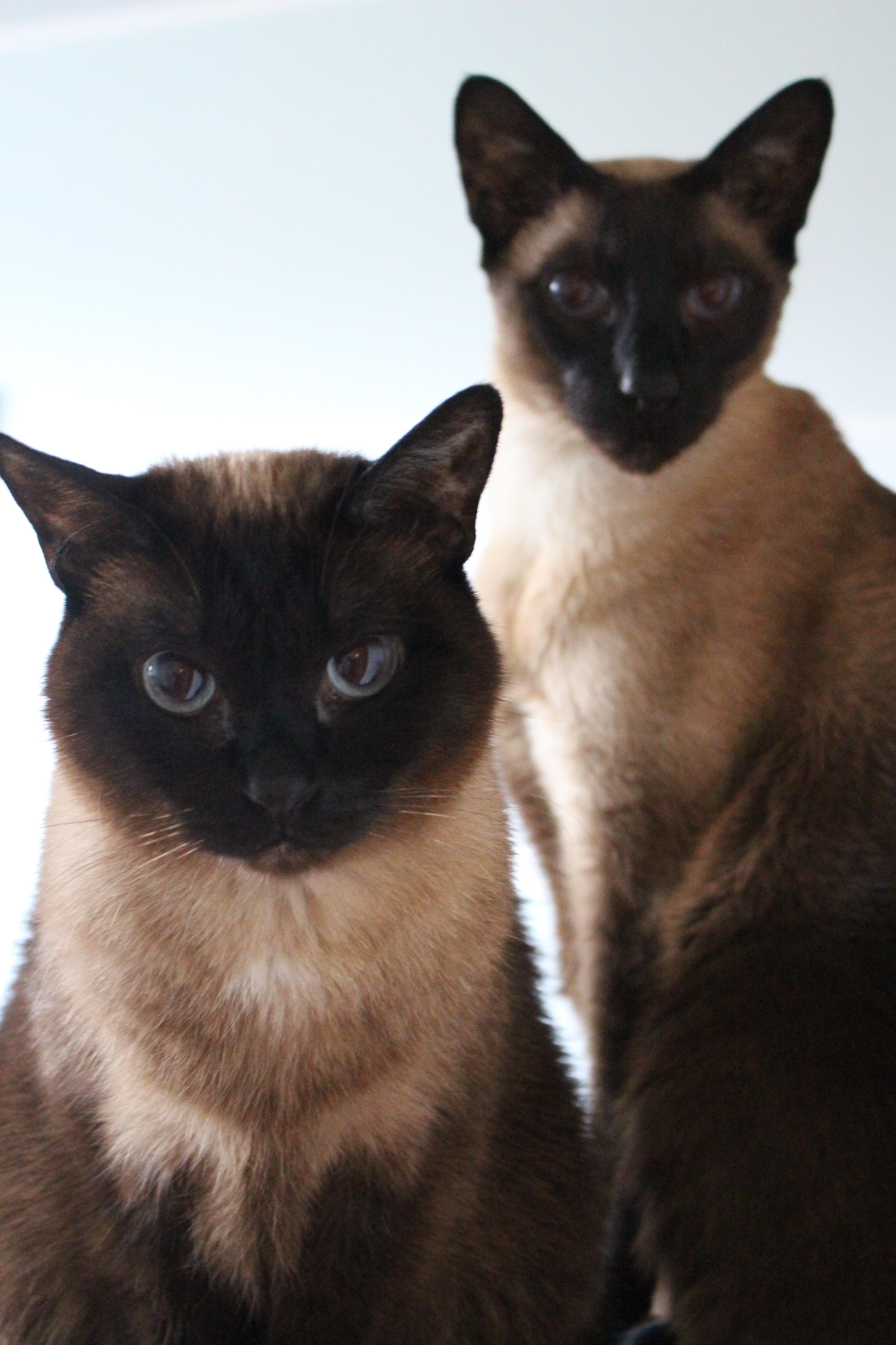 Teapa & Chip Siam Katze
